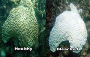 corali albire