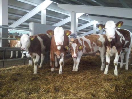 Inițiativa cetățenească europeană: Comisia va propune eliminarea treptată a cuștilor pentru animalele de fermă